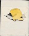 Chelmo longirostris - 1700-1880 - Print - Iconographia Zoologica - Special Collections University of Amsterdam - UBA01 IZ13100191.tif