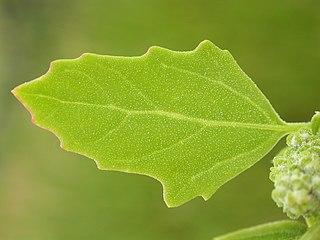 List - orgán rastliny - je tvorený rôznymi pletivami