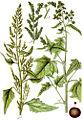 Chenopodium spp Sturm26.jpg