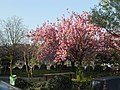 Cherry Blossoms (5986762849).jpg