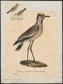 Chettusia senegalla - 1825-1834 - Print - Iconographia Zoologica - Special Collections University of Amsterdam - UBA01 IZ17200141.tif