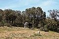 Chevaux - خيول - panoramio (1).jpg