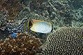 Chevron butterflyfish Chaetodon trifascialis (chevroned butterflyfish) (5847345140).jpg