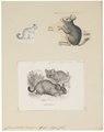 Chinchilla lanigera - 1700-1880 - Print - Iconographia Zoologica - Special Collections University of Amsterdam - UBA01 IZ20600151.tif