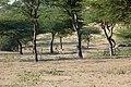 Chinkaras dans le désert du Thar (Rajasthan) (4).jpg