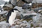 Chinstrap Penguin Half Moon Island 15 (47336768011).jpg