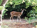 Chital doe in Guindy NP AJTJ P1040360.jpg