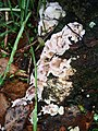 Chondrostereum purpureum 76825767.jpg