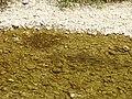 Chondrostoma toxostoma 04.JPG