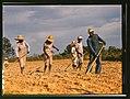 Chopping cotton on rented land near White Plains, Greene County, Ga. LCCN2017877520.jpg