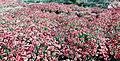 Chrysanthemum Garden.jpg