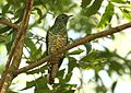 Chrysococcyx cupreus (Cuculidae) (African Emerald Cuckoo) - (female adult), Greater St Lucia Wetlands Park, South Africa.jpg