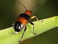 Chrysomelidae (6816211993).jpg