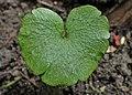 Chrysosplenium alternifolium kz17.jpg