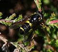 Chrysotoxum bicinctum (male) - Flickr - S. Rae (2).jpg