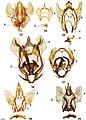 Cicinninae (10.3897-zookeys.815.27335) Figures 33–39.jpg