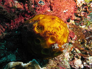Tetillidae family of sponges