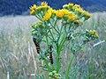 Cinnabar Moth Caterpillars - Flickr - GregTheBusker.jpg