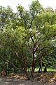Cinnamomum camphora - Indian Botanic Garden - Howrah 2013-03-31 5724.JPG