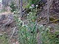 Circium vulgare 05.jpg