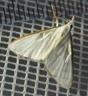 <i>Cirrhochrista</i> genus of insects