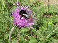 Cirsium tuberosum 'Tuberous Thistle' (Compositae) flower and bee.JPG