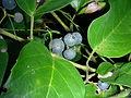 Cissus antarctica fruits.jpg