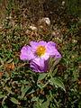Cistus creticus subsp. corsicus Gavoi 950m 20072014.jpg