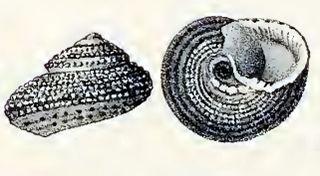 <i>Clanculus plebejus</i> Species of gastropod