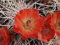 Claret-cup cactus (Echinocereus mojavensis) (14230087572).jpg
