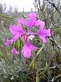 Clarkia pulchella-5-10-05.jpg