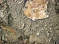 Clast-rich impact pseudotachylite (Sudbury Breccia, Paleoproterozoic, 1.85 Ga; Windy Lake Northwest roadcut, Sudbury Impact Structure, Ontario, Canada) 3 (47736053201).jpg