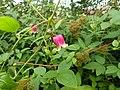 Clematis seedling - sect viorna - Flickr - peganum (1).jpg
