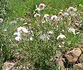 Clematis villosa subsp villosa, habitus, Walter Sisulu NBT.jpg