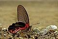 Close wing posture Mudpuddling of Papilio alcmenor (C. & R. Felder, 1864) – Redbreast WLB DSC 8911.jpg