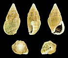 Clypeomorus irrorata 01.JPG