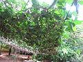 Coccinia grandis - കോവൽ 10.JPG