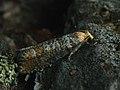 Coccyx turionella - Pine bud moth (41216179892).jpg