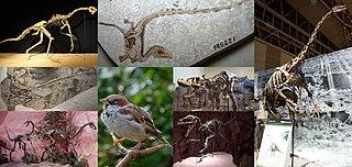 Coelurosauria suborder of reptiles (fossil)