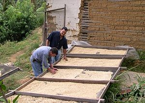 Coffee production in Honduras - Drying organic coffee produced in San Juancito, Honduras.