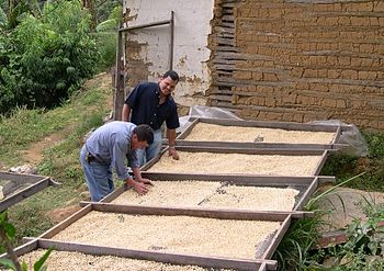 English: Drying organic coffee produced in San Juancito.