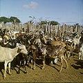 Collectie Nationaal Museum van Wereldculturen TM-20029647 Geiten in de kraal Bonaire Boy Lawson (Fotograaf).jpg
