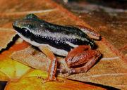 Colostethus flotator in Costa Rica