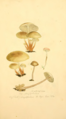 Coloured Figures of English Fungi or Mushrooms - t. 127.png