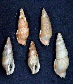 <i>Colubraria nitidula</i> species of mollusc