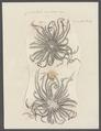 Comatula multiradiata - - Print - Iconographia Zoologica - Special Collections University of Amsterdam - UBAINV0274 108 19 0003.tif