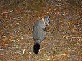 Common Brushtail Possum - Flickr - GregTheBusker (2).jpg