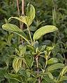 Common Buckthorn (Rhamnus cathartica) - Guelph, Ontario 2020-05-27.jpg