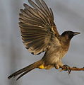 Common Bulbul, Pycnonotus barbatus in my back yard (9307370403).jpg