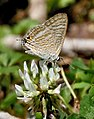 Common Cerulean I IMG 6408.jpg